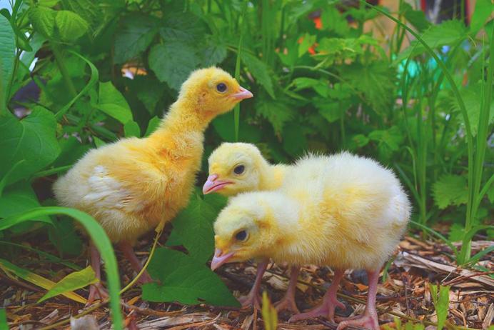 The freshly hatched turkey chicks