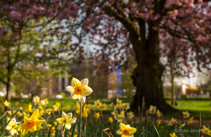 Daffodils in Acton Park - photo by Kate Jennings