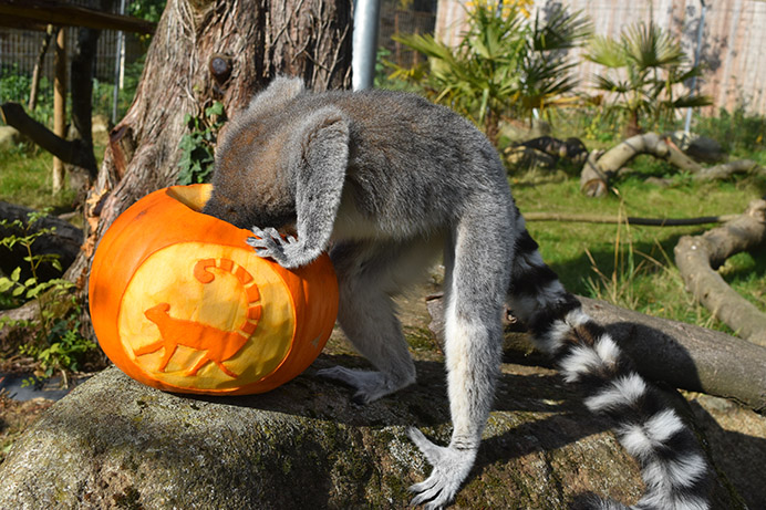 Meerkat enjoying Halloween pumpkin