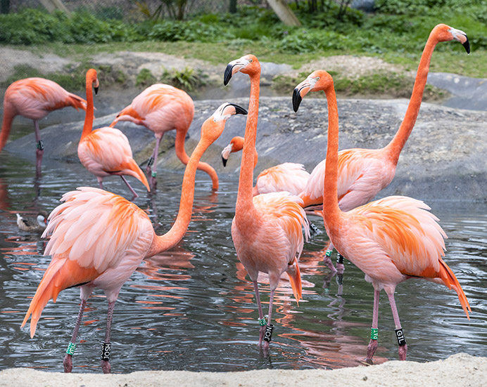 Flamingos, Hanwell Zoo