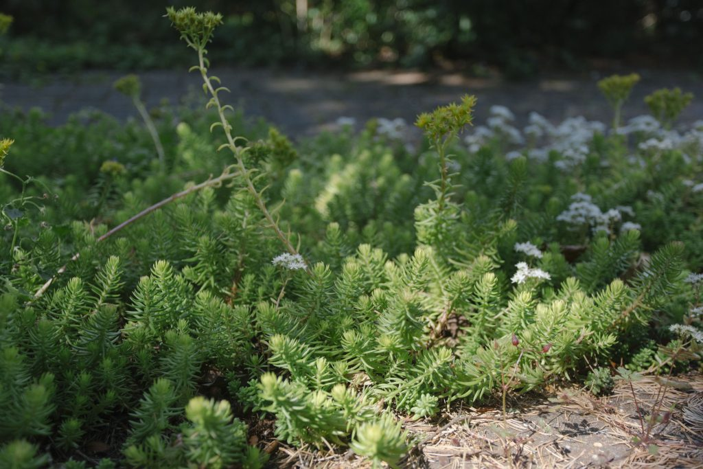 Close-up photo of stonecrop plant growing in a driveway