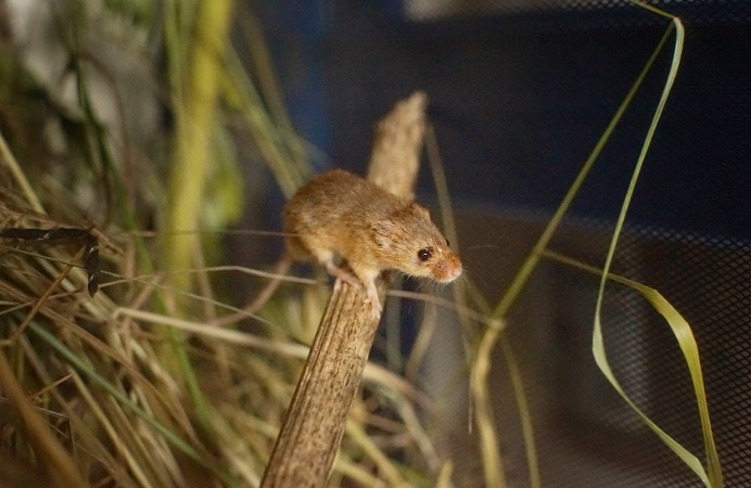 A harvest mouse in its natural meadow habitat